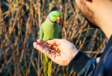 What is the Best Diet For My Parakeet?