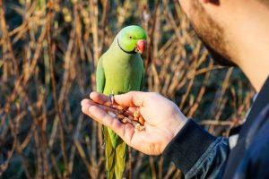 parakeet eating seeds