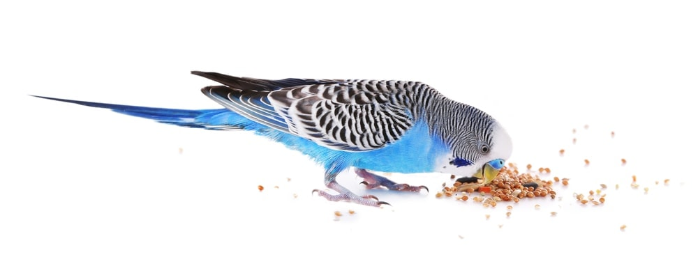 parakeet eating