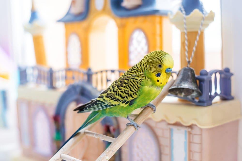 parakeet ladder