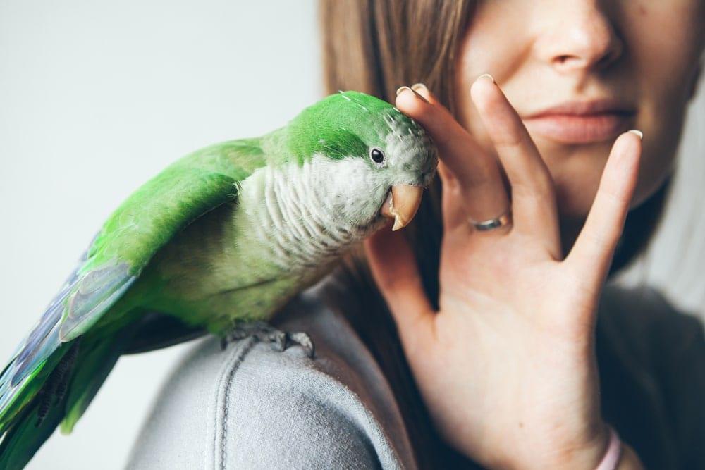 parakeet petting