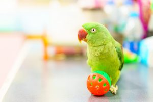 parakeet playing with ball