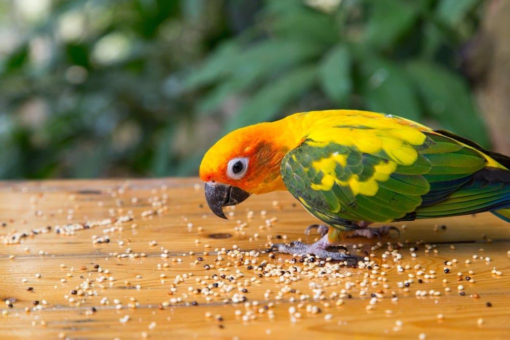 parrot eat