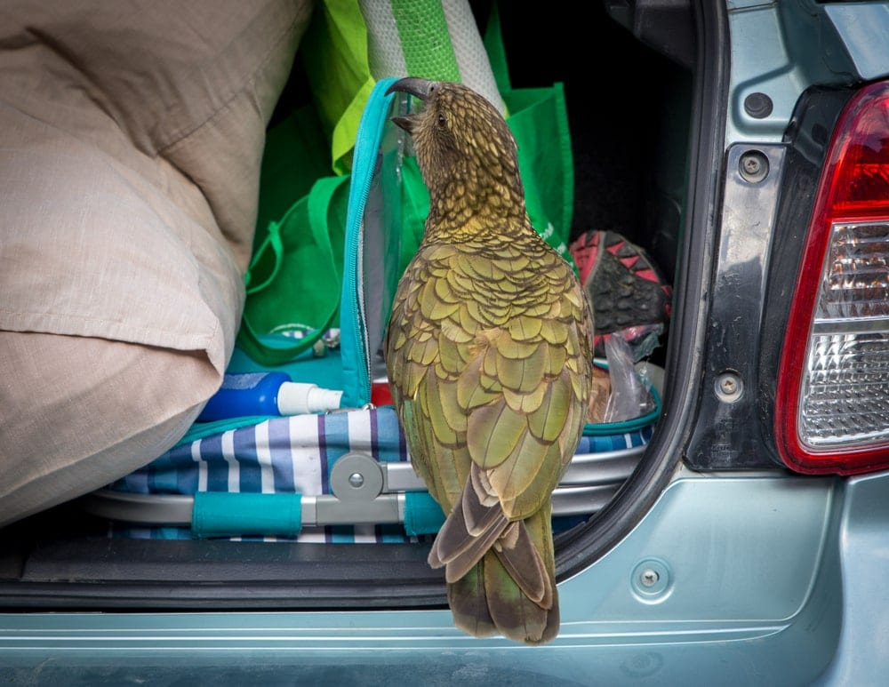 parrot helping packing a car