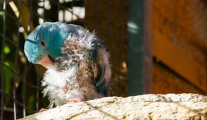 parrot pluck feathers