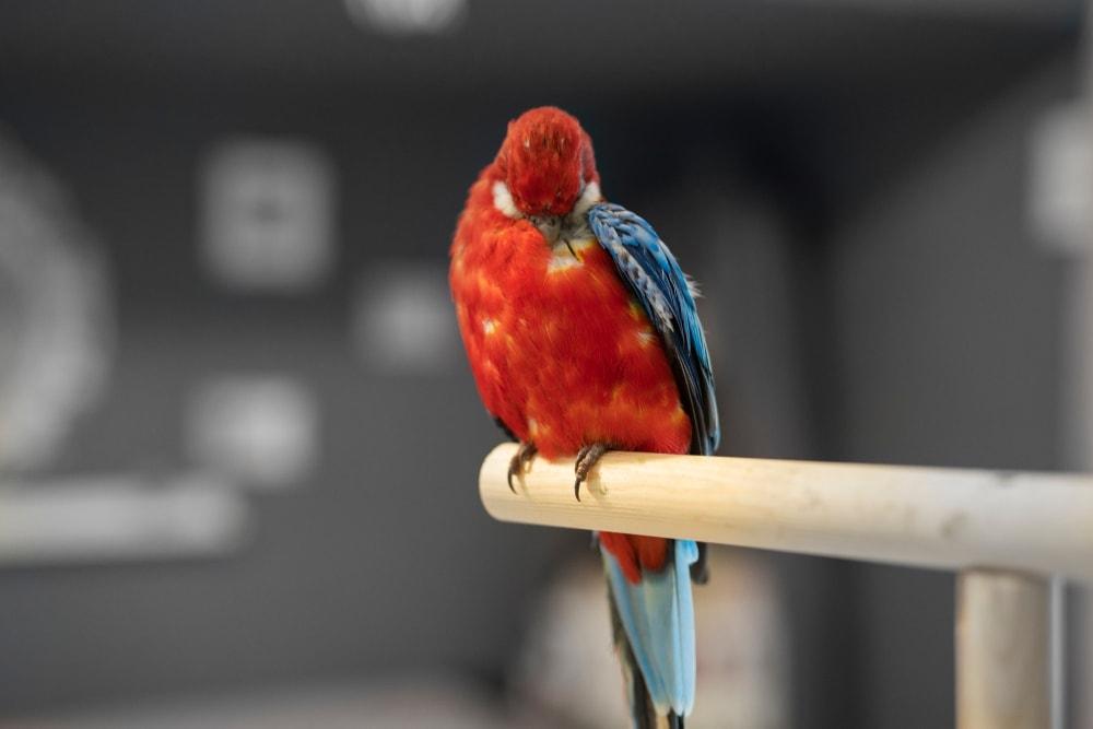 parrot pluck