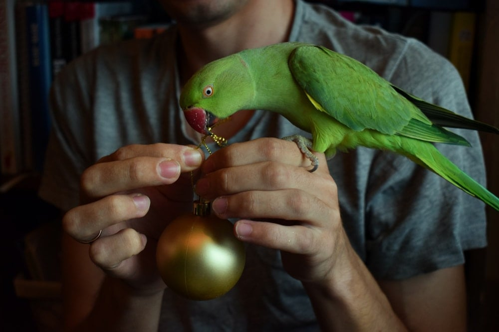parrot ties a knot
