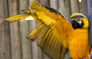 parrot with clipped wings 1