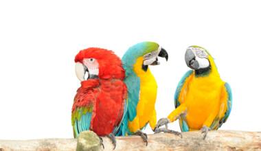 parrots talk