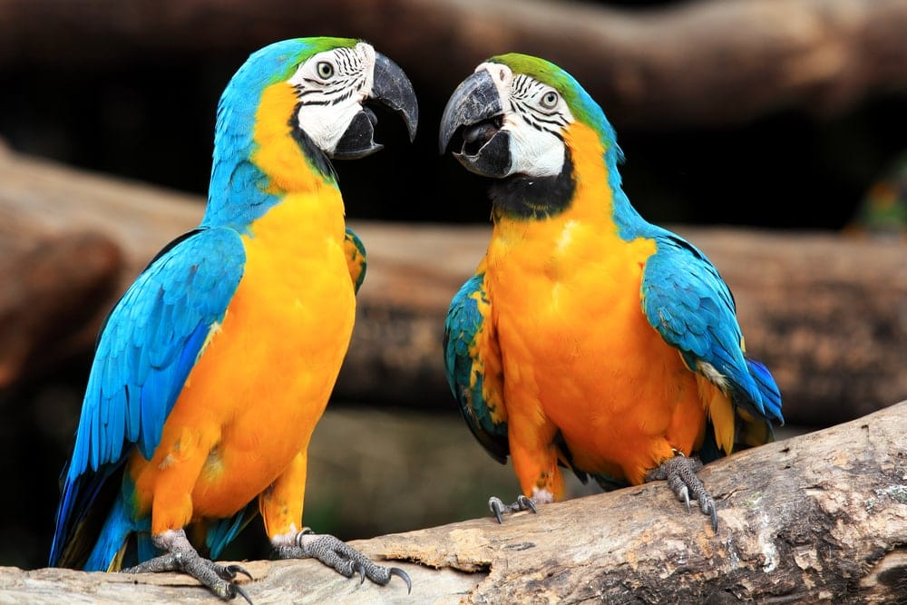 parrots talk to eachother