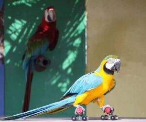pet bird on rollerscates