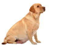 Can Dogs get Pregnant the First Time They Mate?