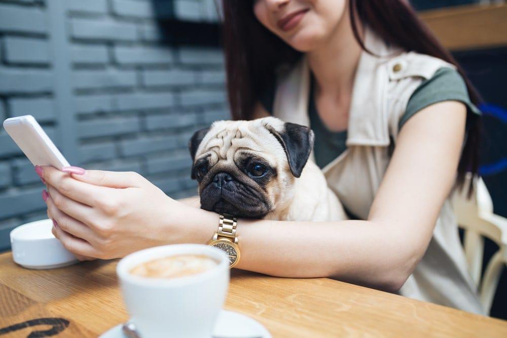pug in lap