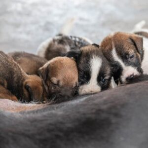 Can You Count a Dog's Nipples to Predict Litter Size?