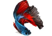 Breeding Betta Fish - Guide & Info