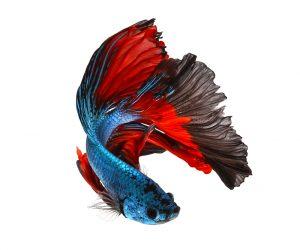 red blue betta fish