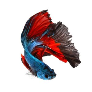Breeding Betta Fish - Guide & Info