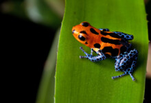 Poison Dart Frog Care guide & Info