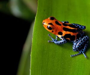 red blue dart frog