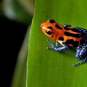 Poison Dart Frog - Care guide & Info