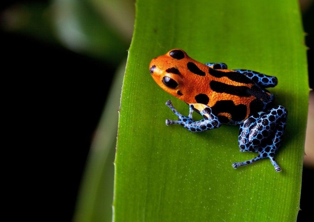 red blue dart frog