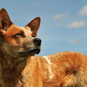 How Big Do Red Heeler Dogs Get?