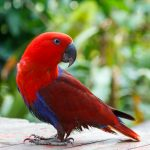 Red Lory Care Guide - Diet, Lifespan & More