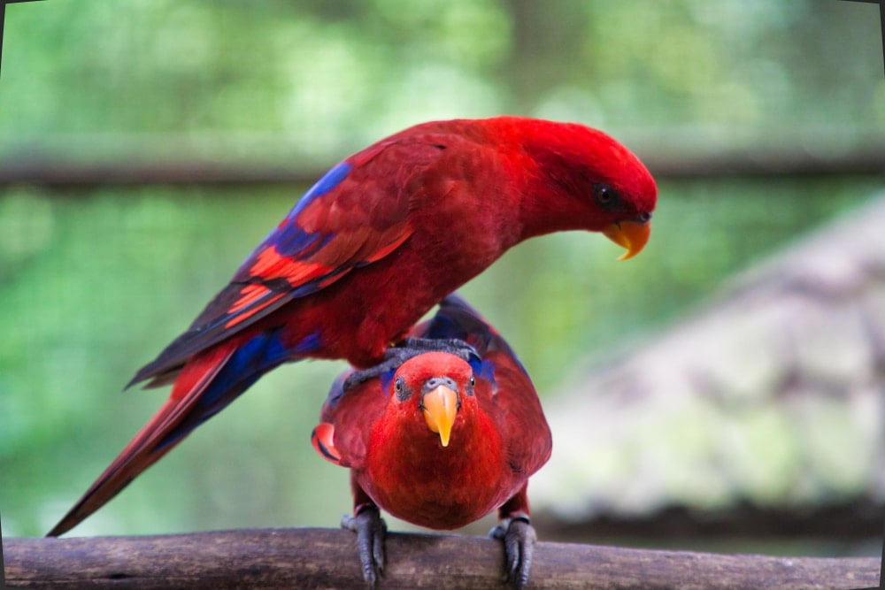 red lory parrots