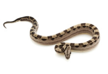 Red Tailed Boa Constrictor Care Guide