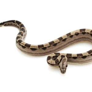 Red Tailed Boa Constrictor - Care Guide
