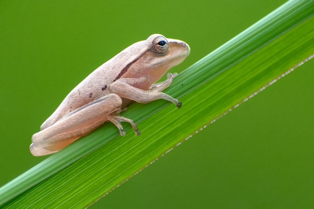 reptile frog