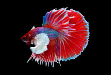 Different Types of Betta Fish