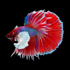 Different Types of Betta Fish