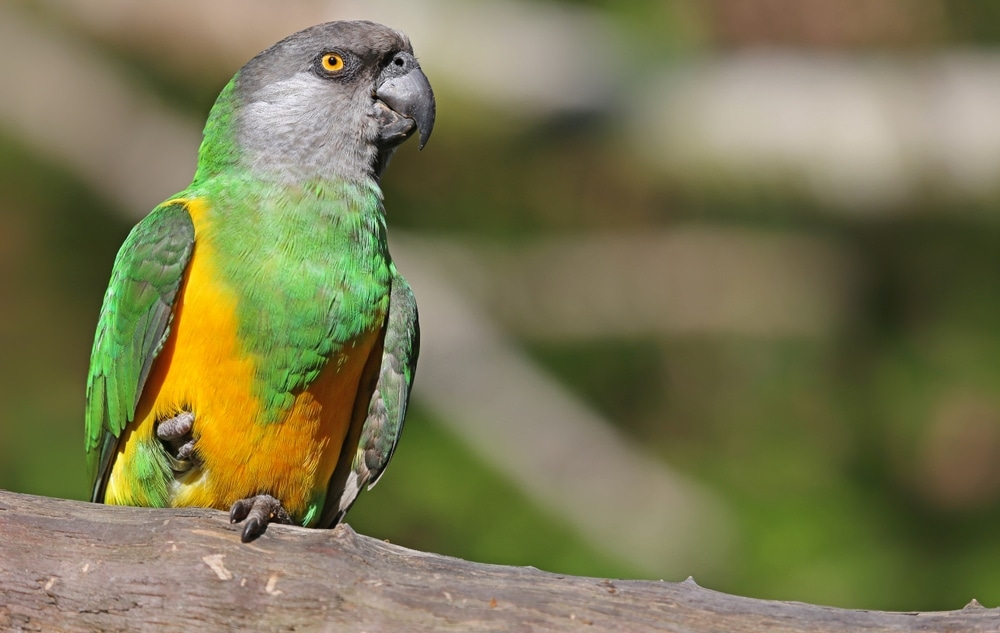 senegal parrot in a wild