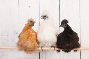 silkie chicken on stick 1