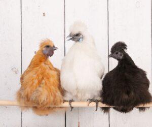 silkie chickens conversation on a stick