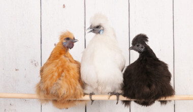silkie chickens conversation on a stick