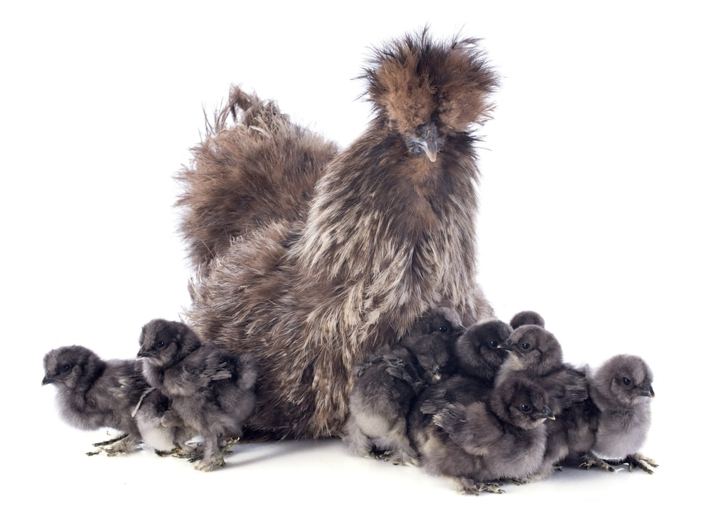fluffy silkie chicken with bunch of chicks