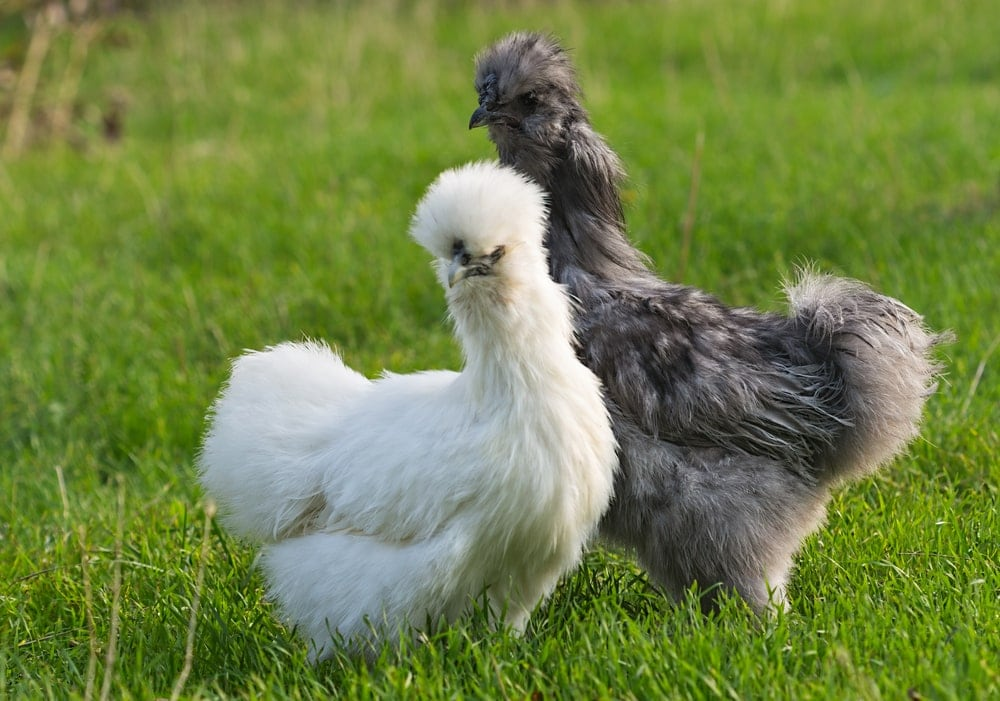 a pair of silkie chicken on a field
