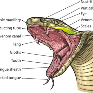 Snake Anatomy - Information