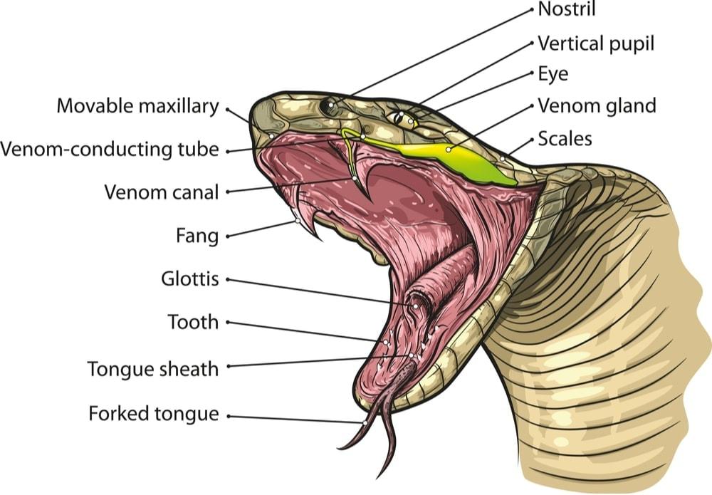 snake anatomy