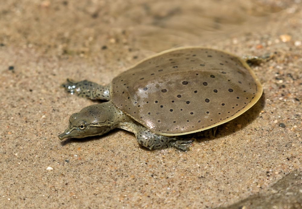 softshell turtle hatchling