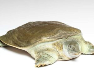 softshell turtle white bg