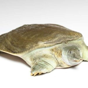 Softshell Turtle Care guide & Info