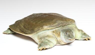 softshell turtle white bg