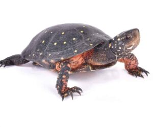 spotted turtle white bg