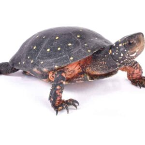 Spotted Turtle Care guide & Info
