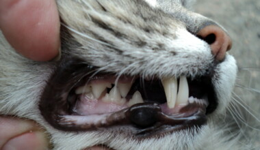 teeths cat