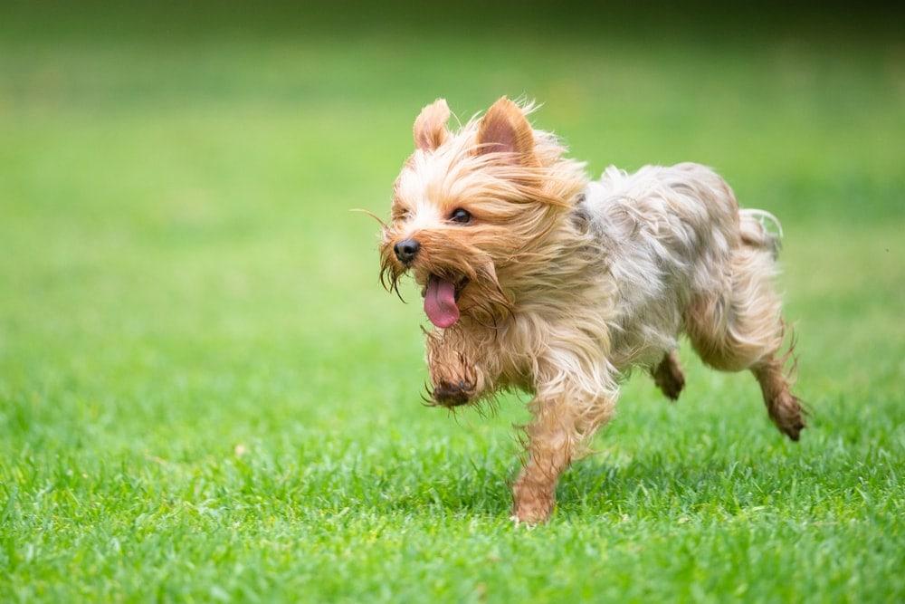 terrier runing grass