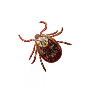 How Long Can a Tick Live on a Dog?